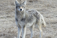 Coy-Wolf Looking at Lens