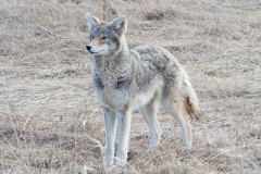 Coy-Wolf Looking in Distance