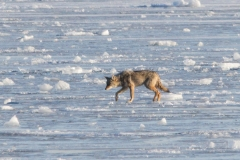 Coy-Wolf on Ice Zoom
