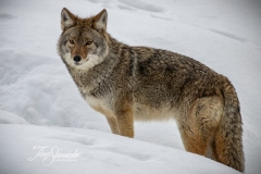 Coyote Stance on Hill