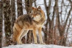 Coyote Overlooking Area