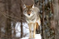 Coyote Behind Tree