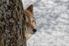 Coyote Peeking