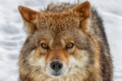 Coyote Funny Face - click for full