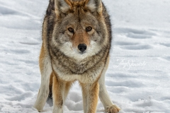 Coyote Facing