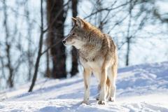 Coyote Gazig in Distance