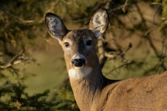 White-Tailed Deer Looking at Lens