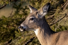 White-Tailed Deer in Sun