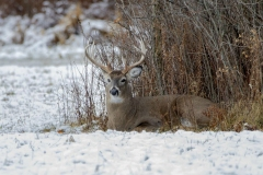 White-Tailed Buck in Snow 2