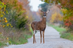 White-Tailed Deer on Road in Fall