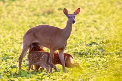White-Tailed Deer with Twins