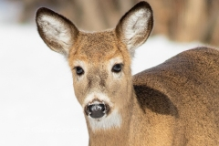 White-Tailed Deer Getting Close