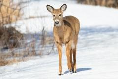 White-Tailed Deer Walking Towards