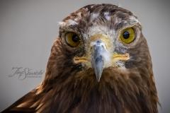 Golden Eagle Facing