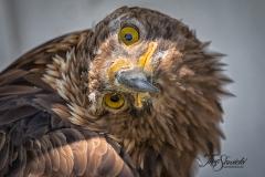 Golden Eagle Head Tilt
