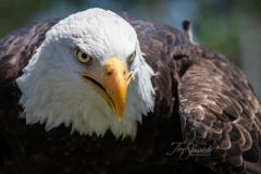 Angled Bald Eagle