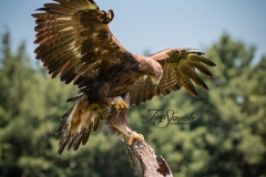 Golden Eagle Wings Up