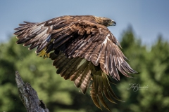 Golden Eagle Caped Wings