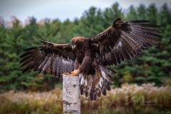 Golden Eagle Landing