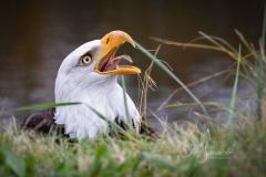 Bald Eagle Tongue Out
