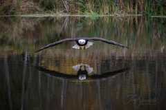 Bald Eagle Soaring Over Water Reflection