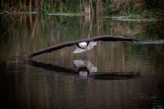 Bald Eagle Dipping Wings