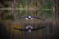 Bald Eagle Straight Over Water