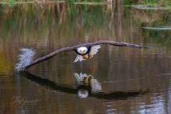 Wing Dipping Bald Eagle