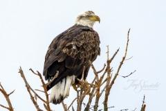 4th Year Bald Eagle