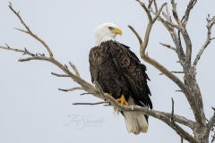 Bald Eagle in Crook of Branch