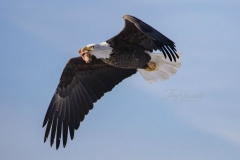 Bald Eagle Flying With Meat