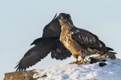 Juvenile Bald Eagle and Raven