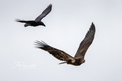 Bald Eagle and Raven Fighting 3