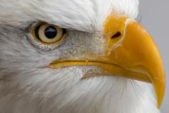 Bald Eagle Eyes