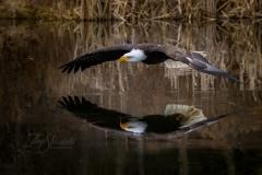 Bald Eagle Side Reflection