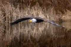 Bald Eagle No Reflection