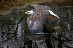 Bald Eagle Dragging