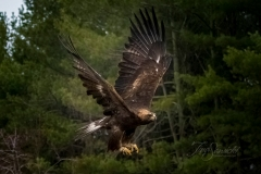 Golden Eagle Flying Wings Up