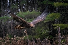 Golden Eagle Soaring by Woods