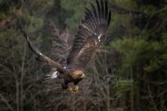 Golden Eagle Flying By Woods