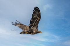 Bald Eagle Juvenile 2