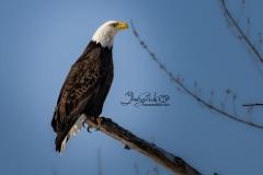 Bald Eagle Standing Tall