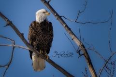 FrankFord Bald Eagles