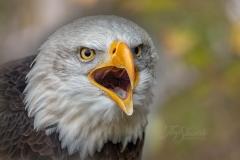 Mouth Open Bald Eagle Zoom