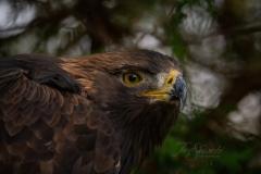 Golden Eagle in Woods