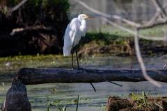 Great Egret in Marsh on Log