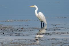 Great Egret in Belleville Waters
