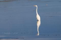 Mirrored Great Egret