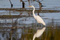 Great Egret in Belleville