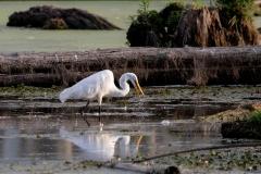 Marshy Great Egret